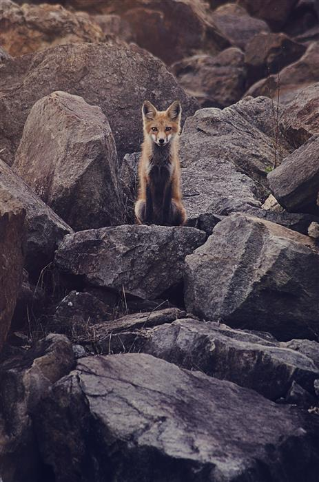 Discover Original Art by Rachel Lauren | Fox Kit #1 photography | Art for Sale Online at UGallery