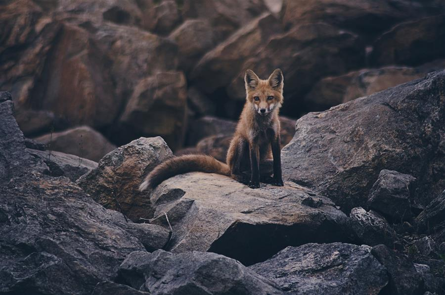 Original art for sale at UGallery.com | Fox Kit #3 by RACHEL LAUREN | $220 |  | ' h x ' w | \art\photography-Fox-Kit-3