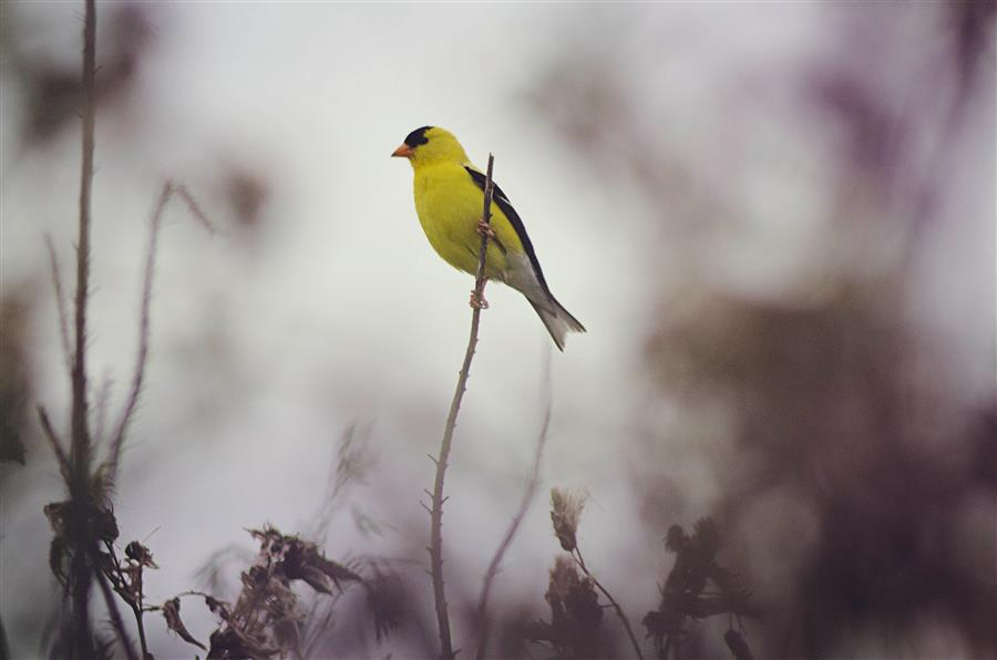Original art for sale at UGallery.com | Goldfinch by RACHEL LAUREN | $220 |  | ' h x ' w | \art\photography-Goldfinch
