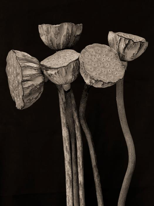Original art for sale at UGallery.com | Lotus Pods by KATHLEEN FINLAY | $305 |  | ' h x ' w | \art\photography-Lotus-Pods