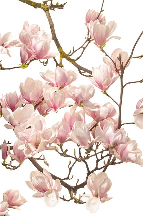 Discover Original Art by Tan Kadam | Magnolia photography | Art for Sale Online at UGallery