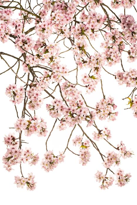 Discover Original Art by Tan Kadam | Japanese Cherry photography | Art for Sale Online at UGallery