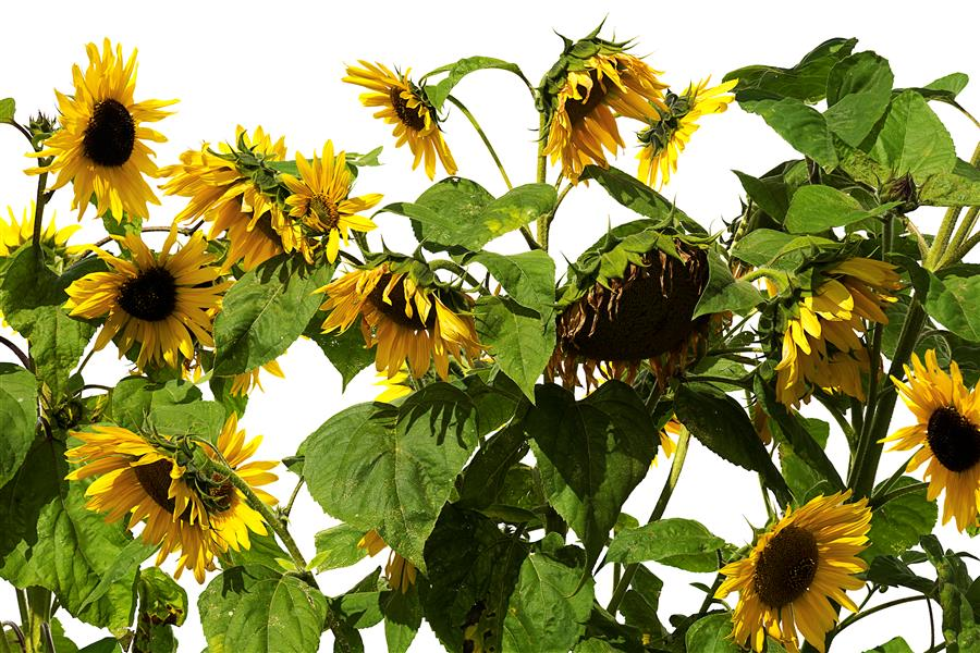 Discover Original Art by Tan Kadam | Sunflower photography | Art for Sale Online at UGallery