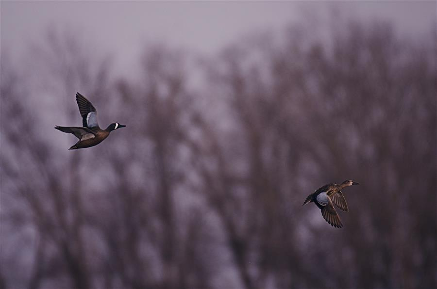 Original art for sale at UGallery.com | Blue Winged Teal Couple by RACHEL LAUREN | $270 |  | ' h x ' w | \art\photography-Blue-Winged-Teal-Couple