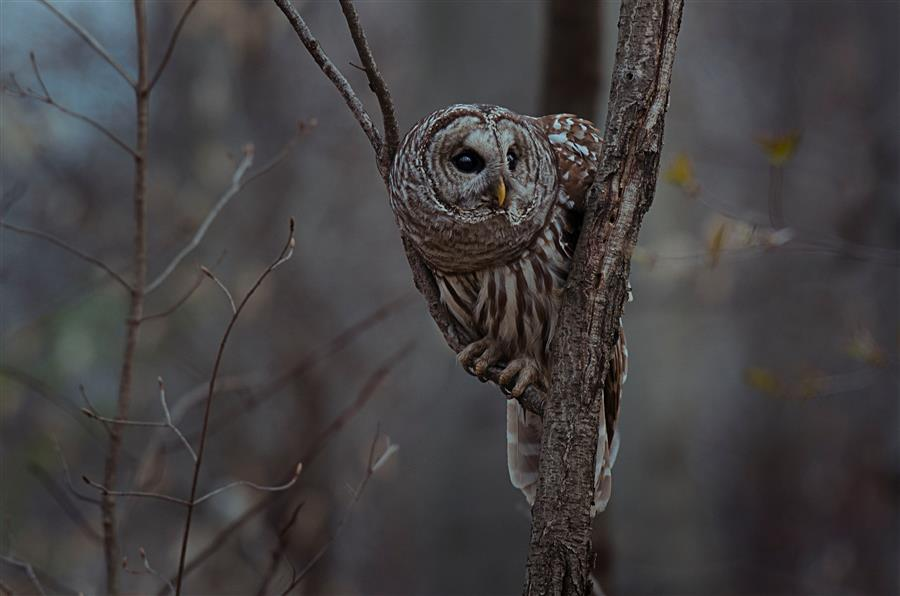 Original art for sale at UGallery.com | Hunting Owl by RACHEL LAUREN | $270 |  | ' h x ' w | \art\photography-Hunting-Owl